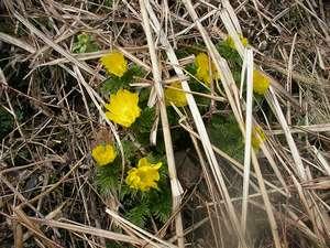 コテージ自給自足:毎年春1番に花を咲かせるのは、福寿草です。今年も残雪が残る中1番に花を咲かせました