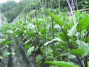 宿の裏で有機野菜を栽培。とれたての野菜もお出ししております