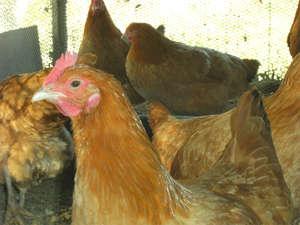 【名古屋コーチン】ツヤツヤの新鮮卵は当館の名物