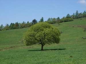 森のやさしさに包まれる小さな宿 銀の森:清里のシンボルツリーも若葉がみずみずしい