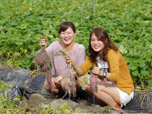 ルネッサンスリゾートナルト:こんなにたくさんとれたよ!鳴門金時の芋掘り体験。