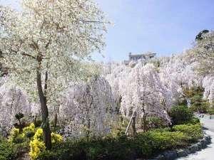 ルネッサンスリゾートナルト:当館から徒歩10分♪しだれ桜日本一の「花見山」お花見弁当を持って出かけよう☆
