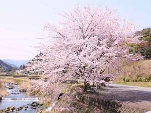 修善寺の桜は3月中旬から4月上旬(イメージ)