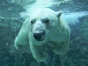 遊湯ぴっぷ:北極クマさんは旭山動物園のイチオシの人気者♪遊湯ぴっぷから車で40分。