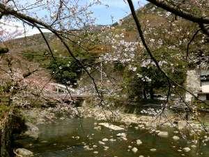 箱根パークス吉野:箱根湯本の桜の見頃は例年4月上旬です。箱根湯本駅と当館の中間「湯本橋」にて2016年3月31日撮影。