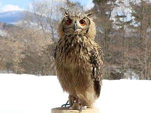 フクロウのいる宿 オーベルジュ渓翠館:大人気!!看板ふくろうの蛍です。 触れ合いOK!! 詳細は当館公式HP(keisuikan.com)で確認