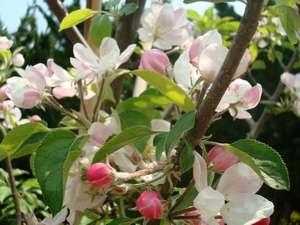 かに・荒磯料理 志麻:5月上旬咲いてる桃の花8月頃食べ頃です