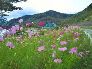 秋の御所湖周辺には、コスモスが咲き誇ります。