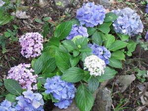 日常から少し遠くへ・・ 懐古ロマンの宿 季さら:今年は紫陽花が早く咲きそうです。玄関周辺に沢山植えました。