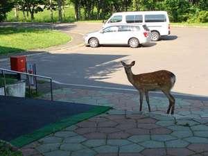 くしろ湿原パーク憩の家 かや沼:【周辺】施設の入り口には鹿が現れることも。