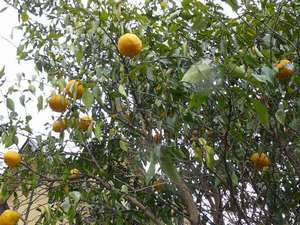 ①庭になった柚子で冬のほっとドリンクを作ります。
