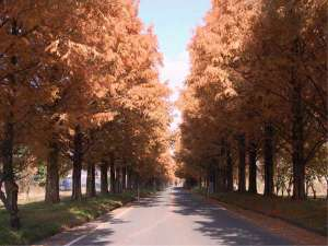 ペンション くりっこ:15 秋のメタセコイヤ並木