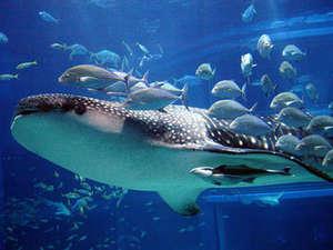 *海遊館の大迫力のジンベエザメは、必見です。