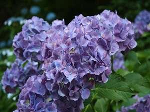 王地山公園 ささやま荘:王地山公園では綺麗な紫陽花が出迎えてくれます♪若々しい緑の中を散策も素敵です。