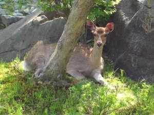 東山温泉メイプルプラザ:木陰で休憩している鹿に出会えることも…♪期間限定で開催するナイトツアーのときは出会える可能性UP★