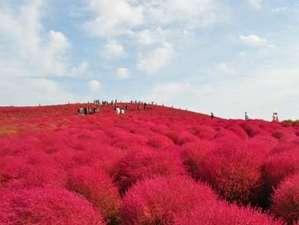 テラスイン勝田:真っ赤なもふもふ絨毯、コキア(ひたち海浜公園)