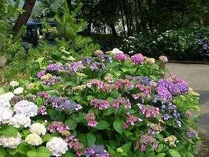 庭園内の紫陽花
