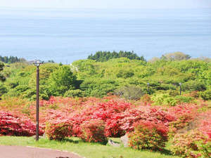 恵山温泉旅館:【つつじ公園】恵山の山麓に自生するツツジは一帯で約60万本と言われています