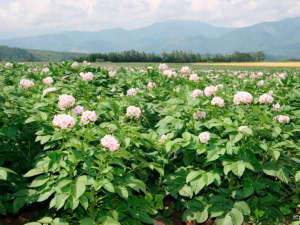 クアプラザピリカ:*今金男爵の花/今金町の名物、品質日本一といわれるじゃがいものお花畑!