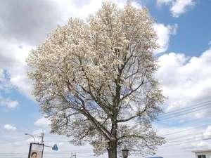 ホテルサンクラウン大阿蘇のシンボル「こぶしの木」