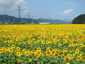 車で20分♪一面に広がる黄色いじゅうたん、宮川のひまわり。