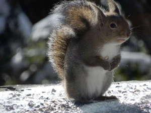 東急リゾート蓼科 ペンション ベルクコット:冬毛のリスです。朝食時にはリスや野鳥。夕食時にはアナグマやテン、タヌキが訪れるかもしれません