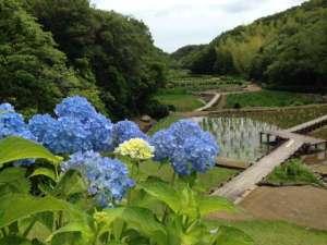 【里山水生園】6月、あじさいやしょうぶが見頃を迎えます