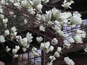 玄関前の白木蓮、夏にはいい木陰を作る