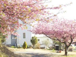 河津桜と当館
