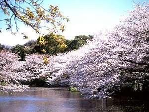 鎌倉パークホテル:鶴岡八幡宮・源氏池の桜