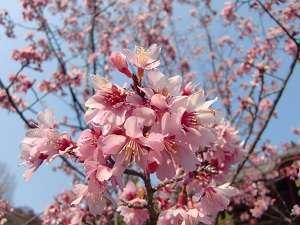 鎌倉パークホテル:建長寺の桜