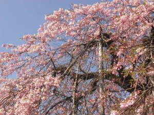 旅館 奥村宗助(大峯山 洞川温泉):龍泉寺の枝垂れ桜