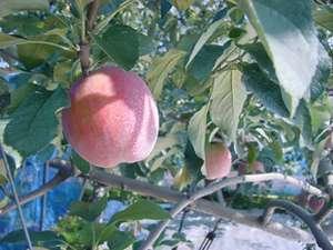 ログリゾートかんなべ~1日4組限定のわが家~:神鍋りんご