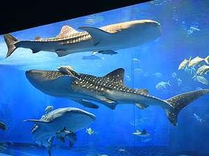 海洋博公園 沖縄美ら海水族館。巨大なジンベイザメは大迫力!!