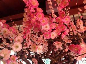 須賀谷温泉:長浜盆梅展