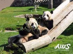 【周辺観光】アドベンチャーワールドのパンダ