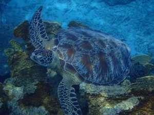 西表島ゲストハウス 島時間:【ネイチャーツアー】1日コースの午前では海亀と出会うシュノーケリング。こんなに間近な時も!