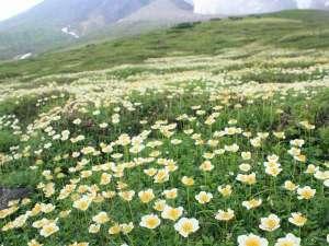 旭岳温泉 ホテルベアモンテ:夏は大雪山固有の高山植物が数多く咲く、素晴らしい時期