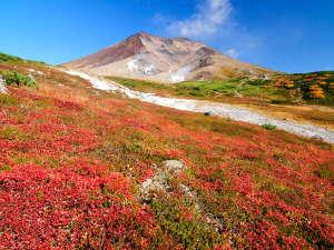 旭岳温泉 ホテルベアモンテ:真っ赤なナナカマドや黄色いダケカンバが鮮やかに山肌を染めていきます