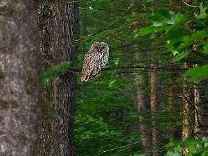 帯広八千代ユースホステル:八千代の森に住むエゾふくろう