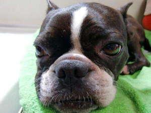 押し花アートを楽しめる犬の宿 伊豆高原 ガラスの仔犬:ガラスの仔犬愛娘 かりん ゆったりかりん