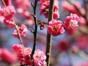 伊豆 網代温泉 松風苑:■四千坪の庭園■1月には梅が咲きはじめます!