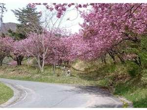 玉乃湯:春の玉乃湯周辺の景色。玉乃湯までの道のりは桜並木が続きます