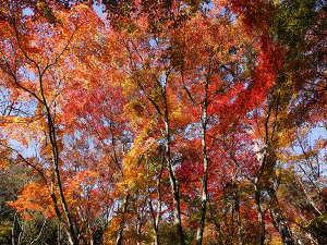 有馬温泉 御幸荘 花結び:紅葉の見頃は11月中旬以降です。