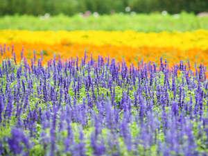 富良野ホテル ベルヒルズ:【ラベンター畑】ラベンダーの見頃は、7月中旬~下旬です。