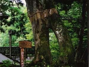栃尾又温泉 湯治の宿 神風館:*子持杉。当館の温泉につかり、子持杉にまたがると子宝に恵まれると言われています。