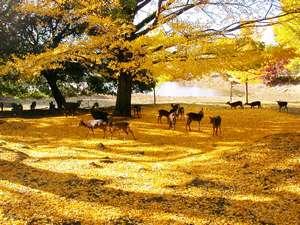 ホテルフジタ奈良:東大寺裏の大銀杏 その高さ26m!辺り一面、金の絨毯。幻想的な奈良の魅力の一つ