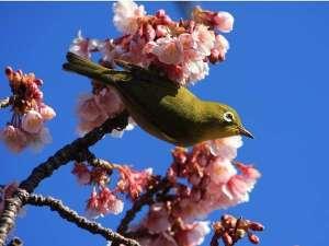 海の見えるプチホテル サン・トロペ:春はもうすぐ…♪河津桜までは車で40分。城ヶ崎までは車で15分