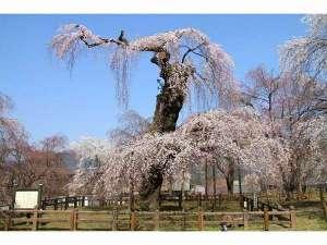 バイキングが人気☆ナチュラルファームシティ農園ホテル:【春】秩父荒川清雲寺のしだれ桜。大きな桜は歴史をも感じられます。