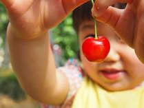 【さくらんぼ狩り】甘いサクランボが食べ放題★提携農園で楽しむサクランボ狩り付プラン!宿から無料送迎可